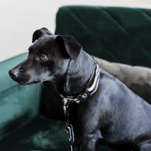 collar para perro cebra kentucky